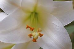 Ostern lilly Lizenzfreie Stockfotos