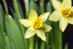 Ostern Lily Close Up Stockbilder