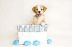 Ostern-Welpe im weißen und blauen Korb mit Eiern Lizenzfreies Stockfoto