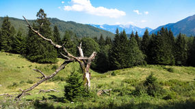 Osterreich alps, dry tree Royalty Free Stock Photo