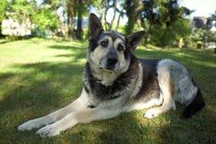 Osteuropäischer Schäferhund stockbild