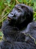 Ostgorilla in der Schönheit des afrikanischen Dschungels Stockfotos