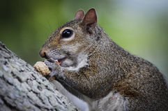 Eichhörnchen, das auf der Baumrinde isst eine Erdnuss sitzt Lizenzfreies Stockfoto