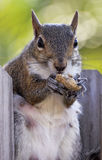 Squirrel das Sitzen auf dem hölzernen Zaun, der eine Erdnuss isst Stockbilder