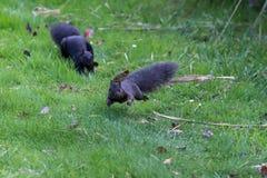 Ostgraueichhörnchen Stockbilder