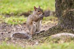 Ostgraueichhörnchen an der Basis der Eiche acrons in Flori essend Lizenzfreie Stockfotos