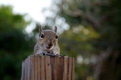 Ostgraueichhörnchen, das Zuschauer betrachtet Stockfotos