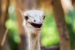 Ostichen i zoo Arkivfoto