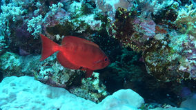 Priacanthus hamrur. Crescenttail bigeye in the Red Sea Royalty Free Stock Photos