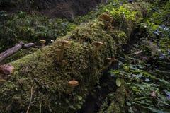 Ostoyae Armillaria группы гриба меда Стоковое Изображение