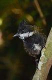 Ostpeitschenvogel Stockfotos