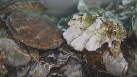 Ostra en agua Grupo de varias ostras frescas en agua clara almacen de video