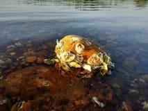 Ostra en piedras del agua de río imagen de archivo