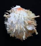 Ostra espinhosa de Spondylus imagens de stock royalty free