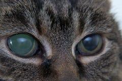 Ostra jaskra w dorosłym kocie, intraocular presure wzrastał przy prezentacją i stora keratic precypitaty, obrazy royalty free
