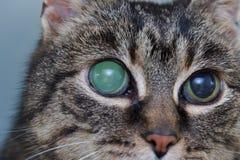 Ostra jaskra w dorosłym kocie, intraocular presure wzrastał przy prezentacją i stora keratic precypitaty, fotografia royalty free