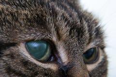 Ostra jaskra w dorosłym kocie, intraocular presure wzrastał przy prezentacją i stora keratic precypitaty, obraz royalty free