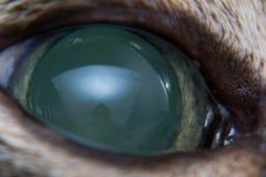 Ostra jaskra w dorosłym kocie, intraocular presure wzrastał przy prezentacją i stora keratic precypitaty, obraz stock