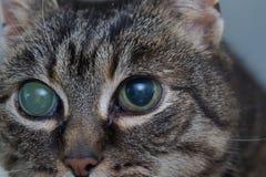 Ostra jaskra w dorosłym kocie, intraocular presure wzrastał przy prezentacją i stora keratic precypitaty, zdjęcie royalty free