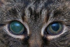 Ostra jaskra w dorosłym kocie, intraocular presure wzrastał przy prezentacją i stora keratic precypitaty, zdjęcie stock