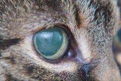 Ostra jaskra w dorosłym kocie, intraocular presure wzrastał przy prezentacją i stora keratic precypitaty, zdjęcia royalty free