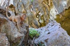 Ostra małpa Fotografia Royalty Free