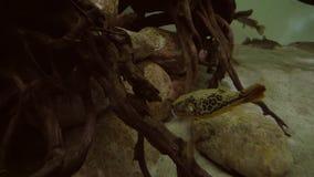 Ostraciidae gialle in video marino del metraggio delle azione dell'acquario video d archivio
