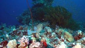 Ostracion cubicus giallo delle ostraciidae nel corallo del Mar Rosso Sudan video d archivio