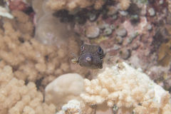 Ostracion cubicus the small box fish Stock Images
