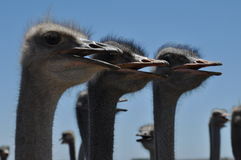 Ostrage surprise. The picture was taken on the South Coast of South Africa. I was on my way to the sea when I came across these ostriches. This was a large herd Stock Photos