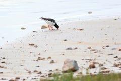 Ostralegus do Haematopus, pega-do-mar euro-asiática Foto de Stock