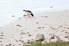Ostralegus Haematopus, евроазиатский Oystercatcher Стоковое Фото