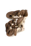 Ostreatus μανιτάρι-Pleurotus στρειδιών Στοκ φωτογραφίες με δικαίωμα ελεύθερης χρήσης