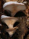Ostreatus de Pleurotus, le champignon d'huître en hiver avec la neige Photo libre de droits