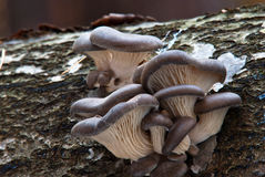 Ostreatus do Pleurotus fotos de stock royalty free