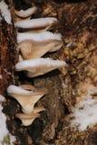 Ostreatus Pleurotus, το μανιτάρι στρειδιών το χειμώνα με το χιόνι Στοκ φωτογραφία με δικαίωμα ελεύθερης χρήσης