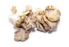 Ostreatus Pleurotus Στοκ φωτογραφίες με δικαίωμα ελεύθερης χρήσης