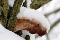 Ostreatus Pleurotus Στοκ εικόνα με δικαίωμα ελεύθερης χρήσης