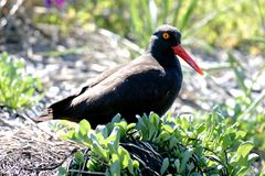 Ostrero costero occidental del negro de la ave costera de Alaska Imagenes de archivo