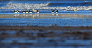 Ostreros y gaviotas de arenques Fotografía de archivo