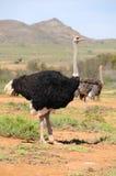 Ostric-Paare im Klein-Karoo, Südafrika Stockbild