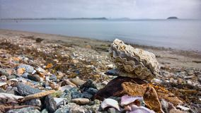 Ostrica dalla costa di mare Fotografie Stock