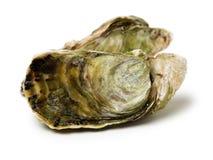 ostrica del mare Bivalve, invertebrati fotografia stock libera da diritti