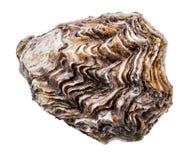 Ostrica fresca isolata con ombra Percorso di ritaglio fotografie stock