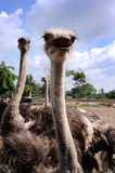 Ostrich�s farm Royalty Free Stock Images