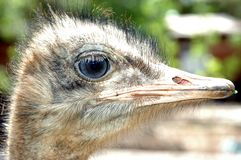 Ostrich 01 Royalty Free Stock Photos