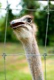 ostrich 02 Arkivfoton