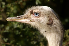 Ostrich 04. A close-up of the head of a farmed Ostrich (Struthio camelus) showing its bay-blue eye colour Stock Photography