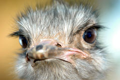 Ostrich 05. A Extreme closeup of an ostrich head Royalty Free Stock Photos