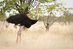 Ostrich. Etosha National Park, Republic of Namibia, Southern Africa Stock Images